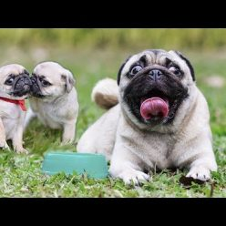 Cute and Funny Pug Dog Video Compilation #28